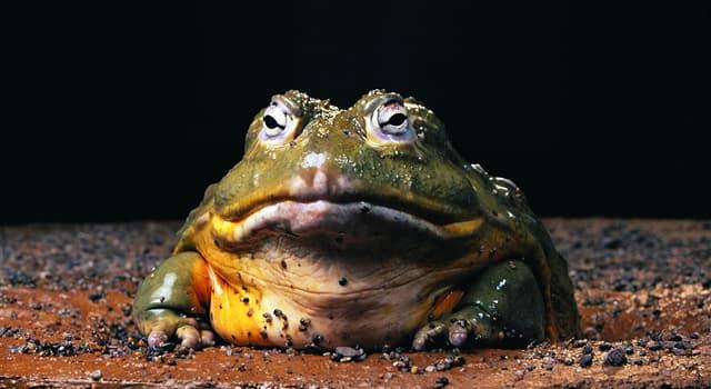 natura Pytanie-Ciekawostka: Jaka jest największa żyjąca żaba na Ziemi?