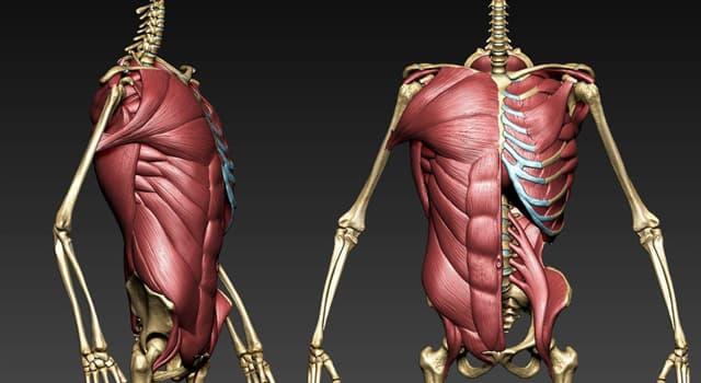 Наука Запитання-цікавинка: Як називається кістка пояса верхніх кінцівок, що забезпечує зчленування плечової кістки з ключицею?