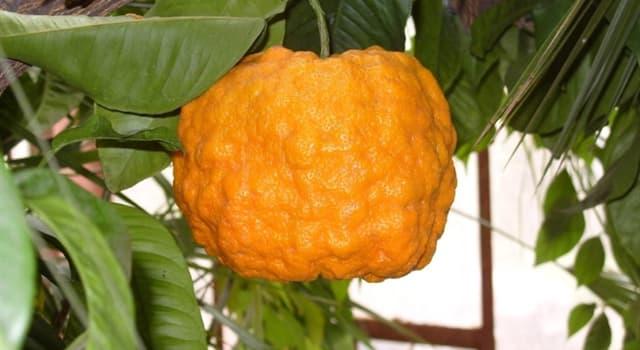 природа Запитання-цікавинка: Як називають рослину, яке ймовірно, є гібридом мандарина і помело?