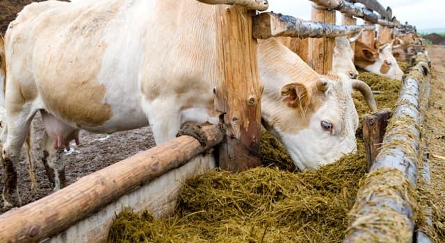 природа Запитання-цікавинка: Як називають соковитий корм для сільськогосподарських тварин?