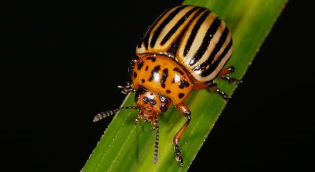 природа Запитання-цікавинка: Який перед вами жук?