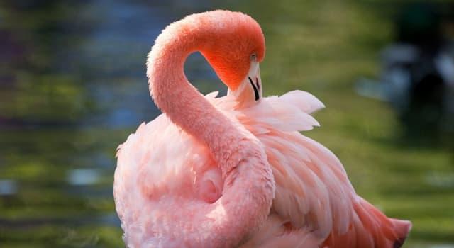 natura Pytanie-Ciekawostka: Który z wymienionych faktów na temat flamingów nie jest prawdziwy?