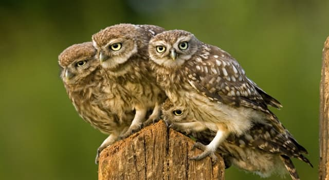 Natur Wissensfrage: Neben den echten Eulen, welche ist die andere allgemein akzeptierte Eulenfamilie?