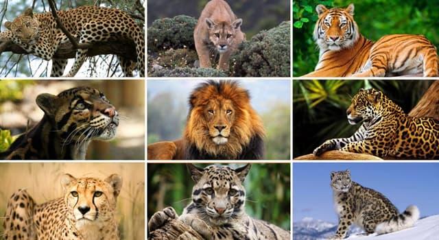природа Запитання-цікавинка: Представником якого роду є африканський леопард?