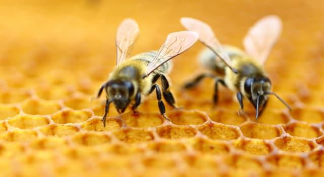 Natur Wissensfrage: Was ist CCD in Bezug auf Honigbienen?