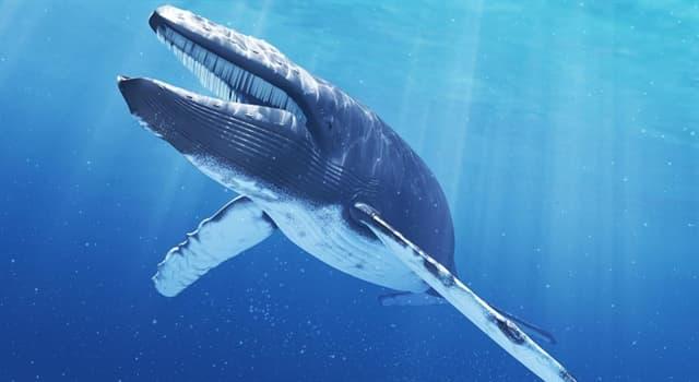 Natur Wissensfrage: Was ist die Hauptnahrung der Blauwale?