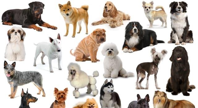 Natur Wissensfrage: Welche dieser Hunderassen hat kurze Beine und stammt aus Wales?