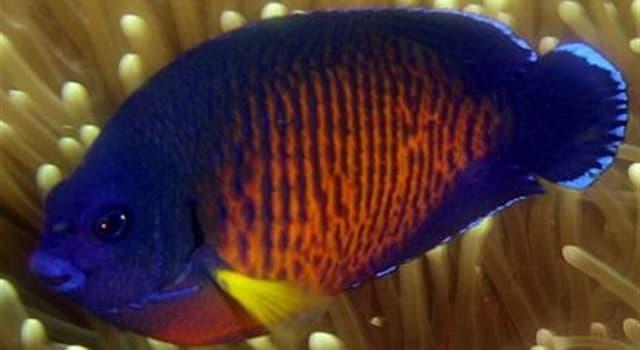 Natur Wissensfrage: Welcher der folgenden Fische ist ein Angelfish?