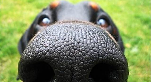 Natur Wissensfrage: Welches davon ist ein besonderes Merkmal von Laufhunden?