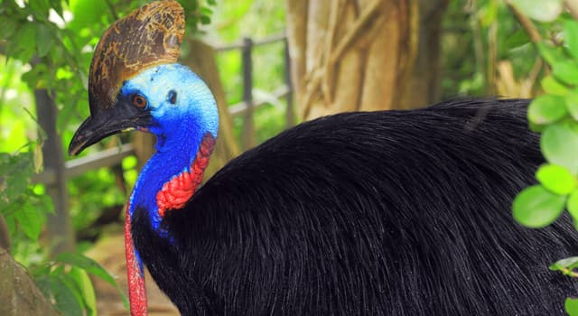 Nature Trivia Question: What do cassowaries feed on?
