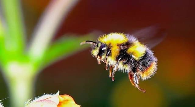 Nature Trivia Question: What is the closest wing beat frequency per second of a honeybee in flight?
