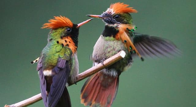 Nature Trivia Question: What type of hummingbird is this?