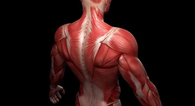 Science Trivia Question: Where in the body would you find the rhomboid minor muscle?
