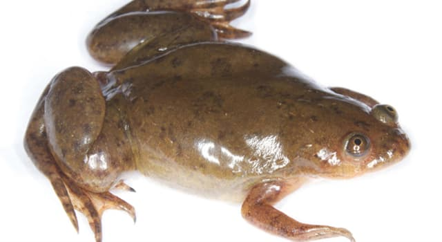 Nature Trivia Question: Which frogs are toothless, tongueless and completely aquatic?