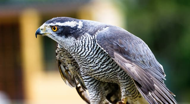 Nature Trivia Question: Which hawk is the largest?