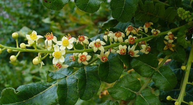 Nature Trivia Question: To which of these countries is the frankincense tree not native?