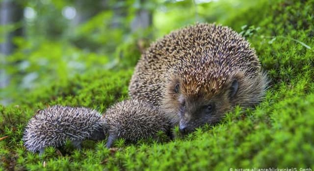 Nature Trivia Question: Which of these is a colloquial name for hedgehog's spines?