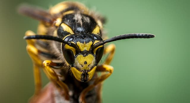 Nature Trivia Question: Which of these is the largest of the eusocial wasps?