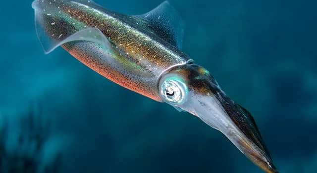 Nature Trivia Question: Which of these squids is able to propel itself up out of the water?