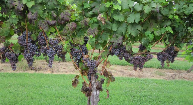 Culture Trivia Question: Which wine grape variety is nicknamed 'king of the red wine grapes'?