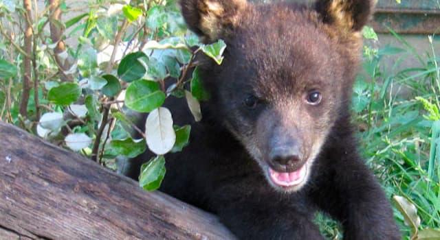 Natur Wissensfrage: Wie lange überleben Schwarz-, Grizzly- und Braunbären im Winterschlaf ohne Essen und Trinken?
