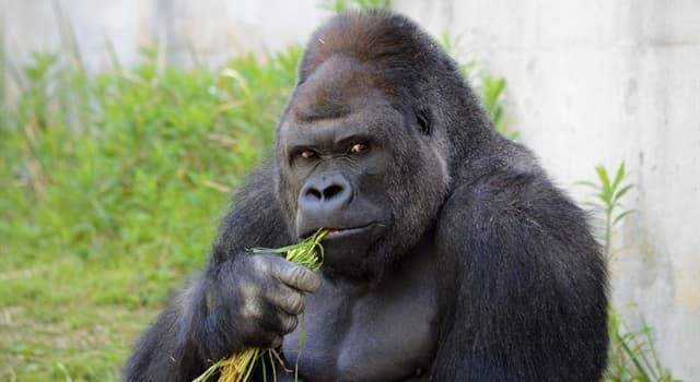 Natur Wissensfrage: Wie nennt man einen erwachsenen, männlichen Gorilla?