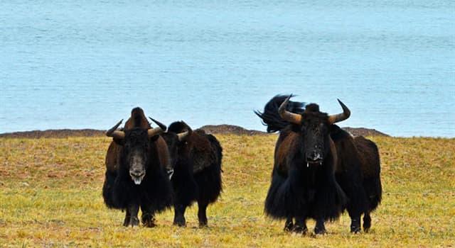 Natur Wissensfrage: Wo leben die meisten wilden Yaks?