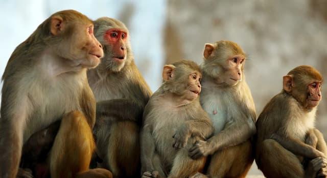 Natur Wissensfrage: Worin besteht der offensichtlichste Unterschied zwischen Menschenaffen und Affen?