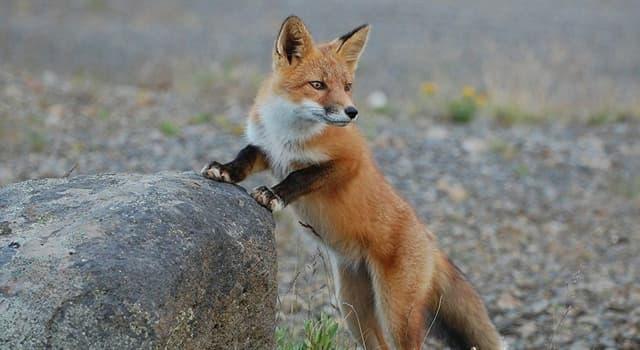 Kultura Pytanie-Ciekawostka: Z jakiego kraju pochodzi polowanie na lisy?