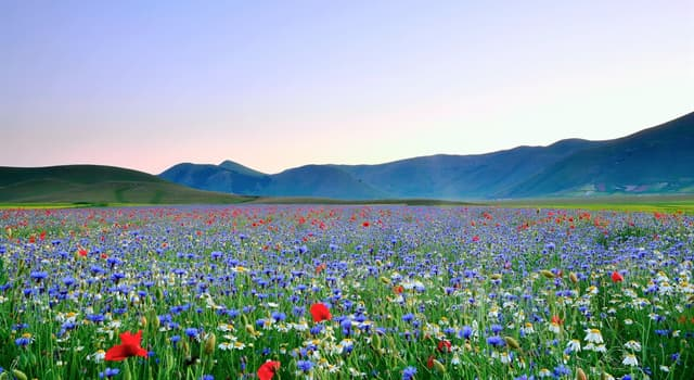 Kultura Pytanie-Ciekawostka: Z którym kwiatkiem zwykle jest kojarzona Holandia?