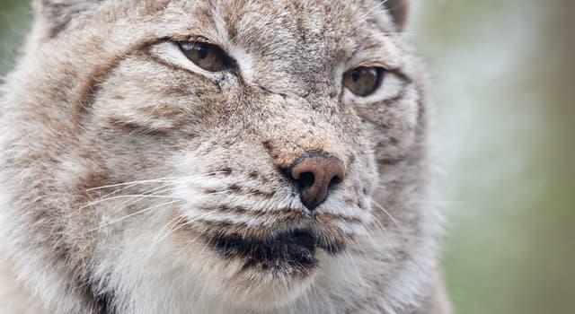 природа Запитання-цікавинка: Чим відрізняється рись від інших котячих?