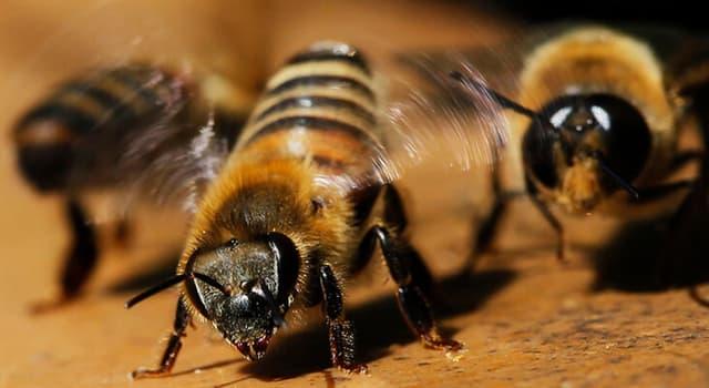 природа Запитання-цікавинка: Що не можуть робити Афріканізірованние бджоли?