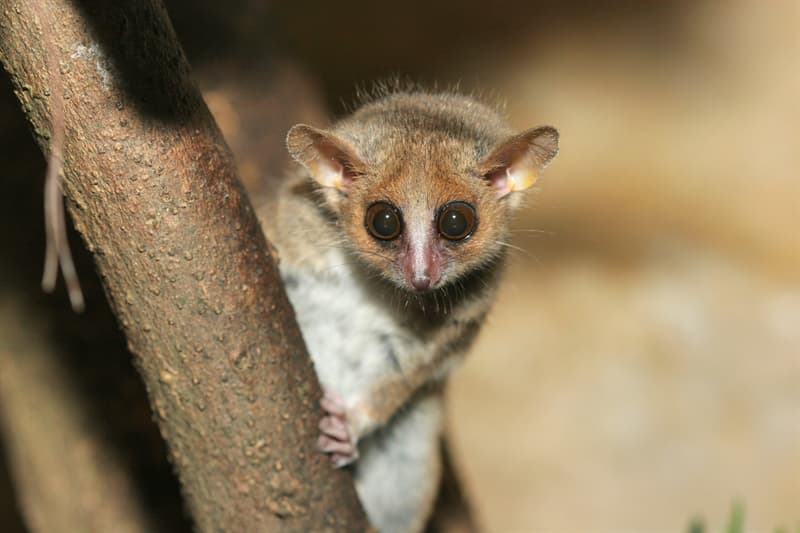Naturaleza Pregunta Trivia: ¿Dónde habita el lemur ratón?