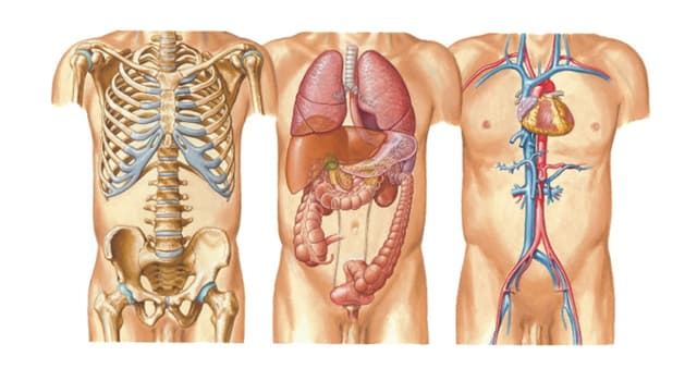 Science Trivia Question: How many lobes are there in the human liver?