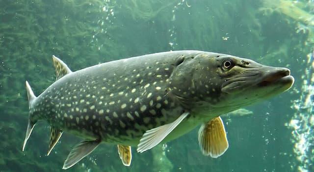 природа Запитання-цікавинка: Як називається ця риба?