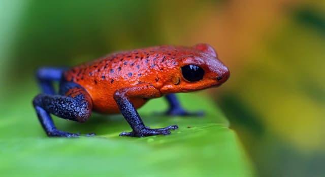 природа Запитання-цікавинка: Яка жаба зображена перед вами?