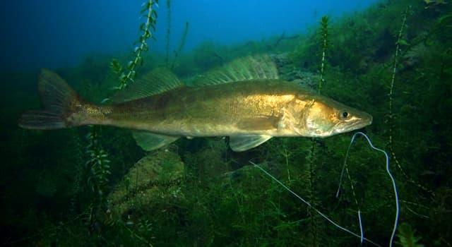природа Запитання-цікавинка: Яка риба зображена на фото?