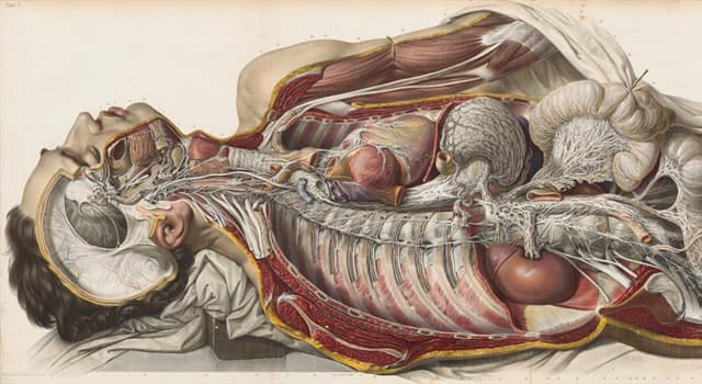 Science Trivia Question: The mesentery is an organ of which system?