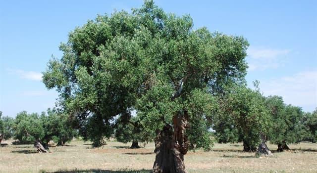 природа Запитання-цікавинка: Вік оливкового дерева може досягати більше 2000 років.