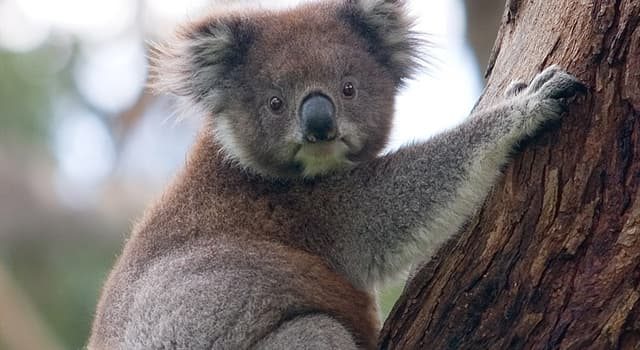 Nature Trivia Question: What country is the koala native to?