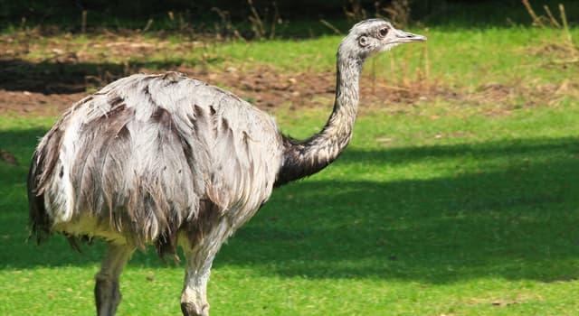 Nature Trivia Question: What do rheas eat?