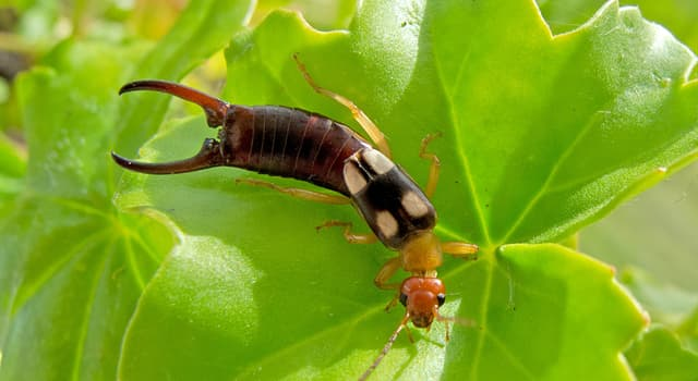 Nature Trivia Question: What does the common earwig use the pair of forceps for?