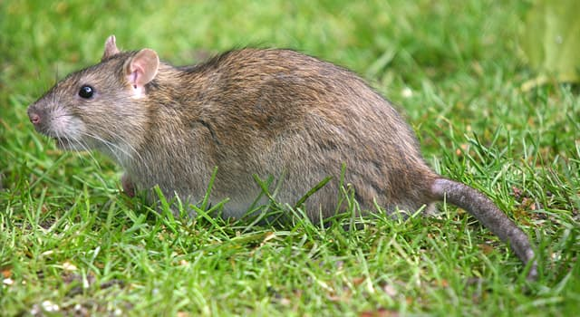 Nature Trivia Question: What is the gestation period of the brown rat?