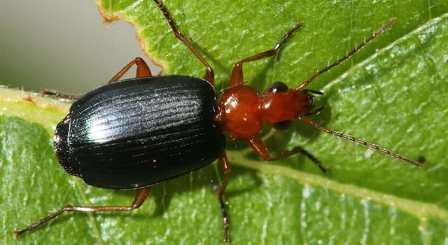 Nature Trivia Question: Which beetle is in the picture?