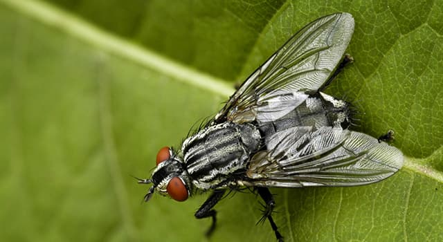 Nature Trivia Question: Which of these flies is called eye-seeking fly?