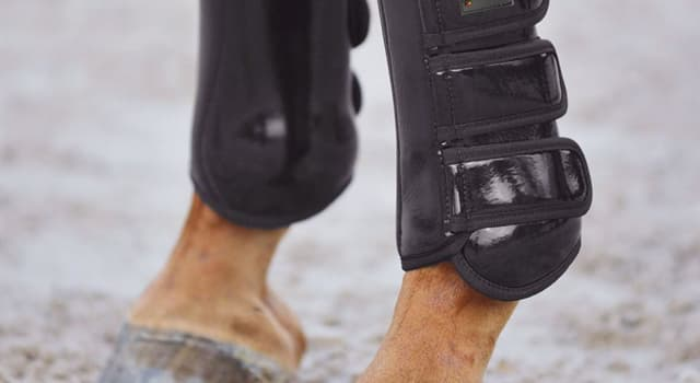 Nature Trivia Question: Which of these protects a horse's lower leg from an injury that may occur during exercise?