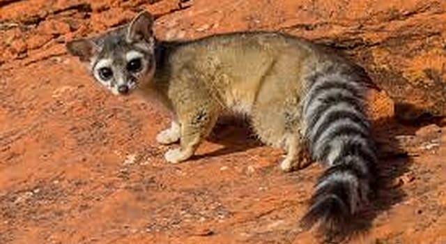 Nature Trivia Question: Which region of the world is the ringtail (ring-tail cat) native to?