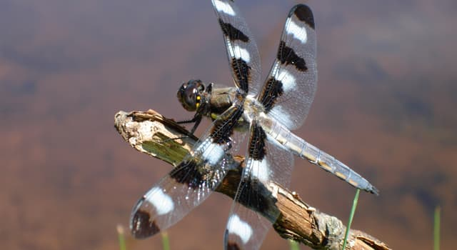 Nature Trivia Question: Why do most of dragonflies live near water?