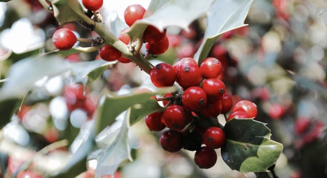 Culture Trivia Question: What country does the Christmas carol, 'The Holly and the Ivy', originate?
