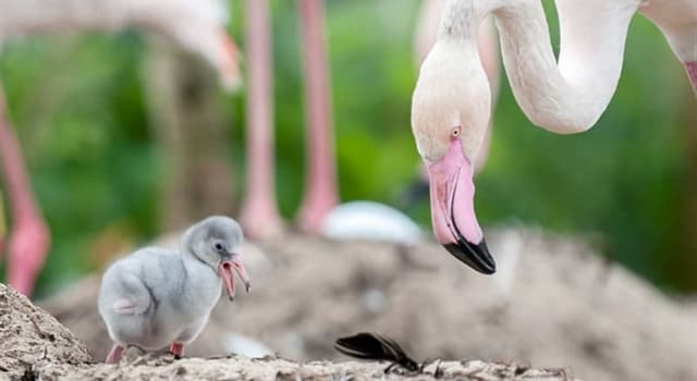 Nature Trivia Question: What do flamingos feed their chicks with?